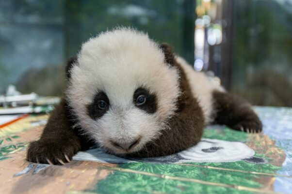 The Nation Zoo's baby panda on Nov. 9, 2020 on a table while being examined by veternarians. (Photo: National Zoo)