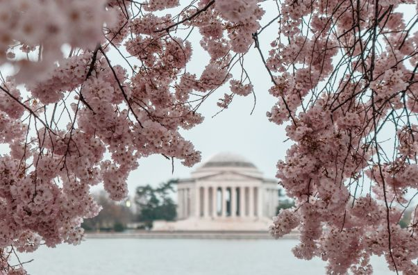 Jefferson Memorial from across the Tidal Basin framed by cherry blossoms. (Photo: Kyler Boone/Unsplash)