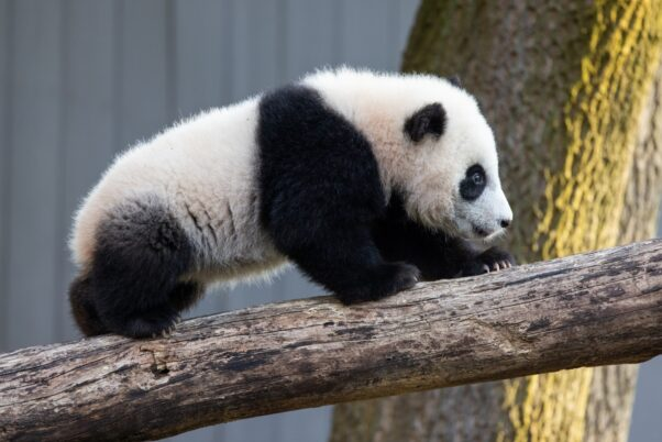 Giant panda cub Xiao Qi Ji climbs up the climbing structure in his outdoor habitat at the National Zoo on March 9, 2021. (Photo: National Zoo).